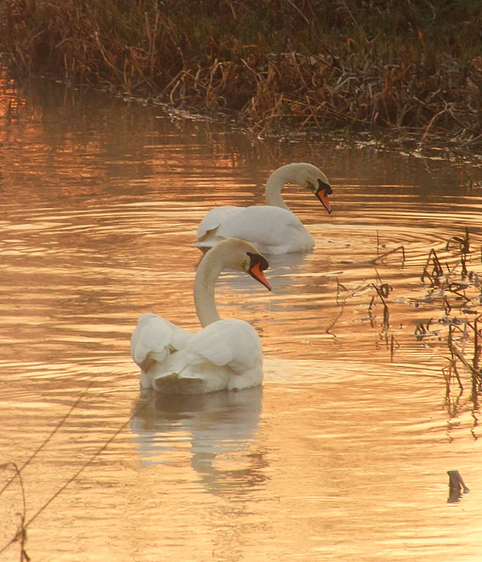 Swans in sunrise reflections