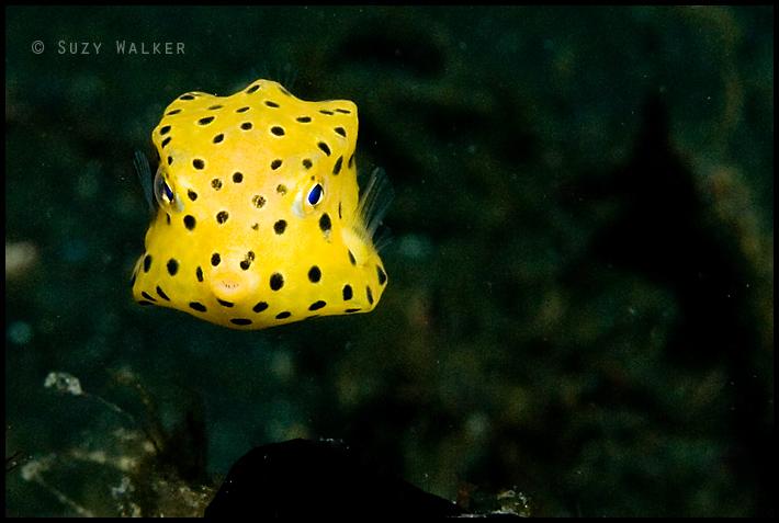 Little Yellow boxfish
