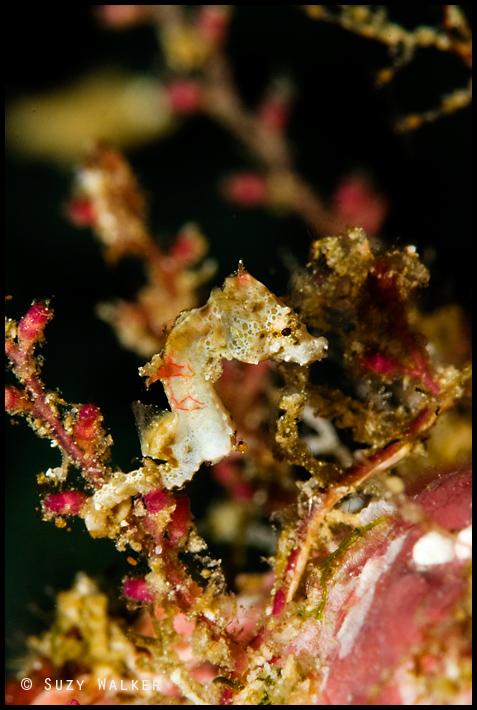 little weedy pygmy seahorse