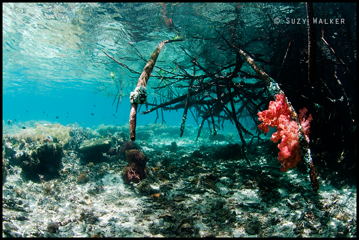 blue water mangroves