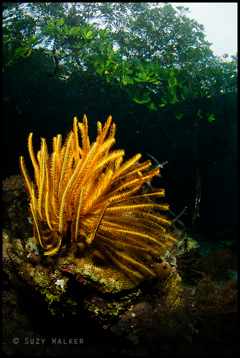 Crinoid in the mangroves