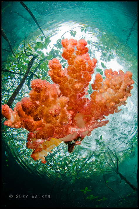 soft coral in snells window