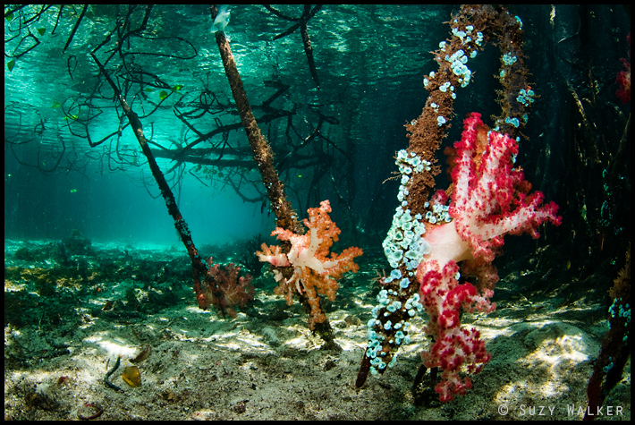 Pink and yellow softcoral