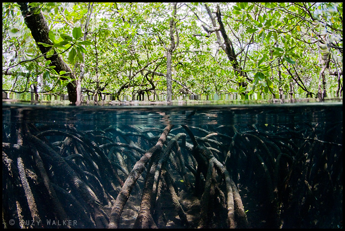 Under-Over mangrove roots