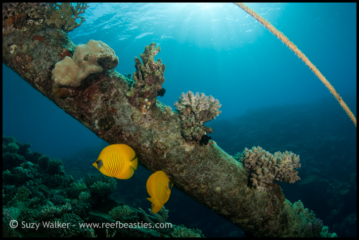 butterfly fish on a wreck