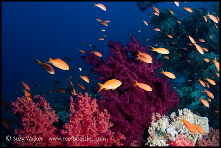 anthias on the reef
