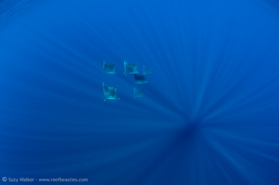 mobula rays