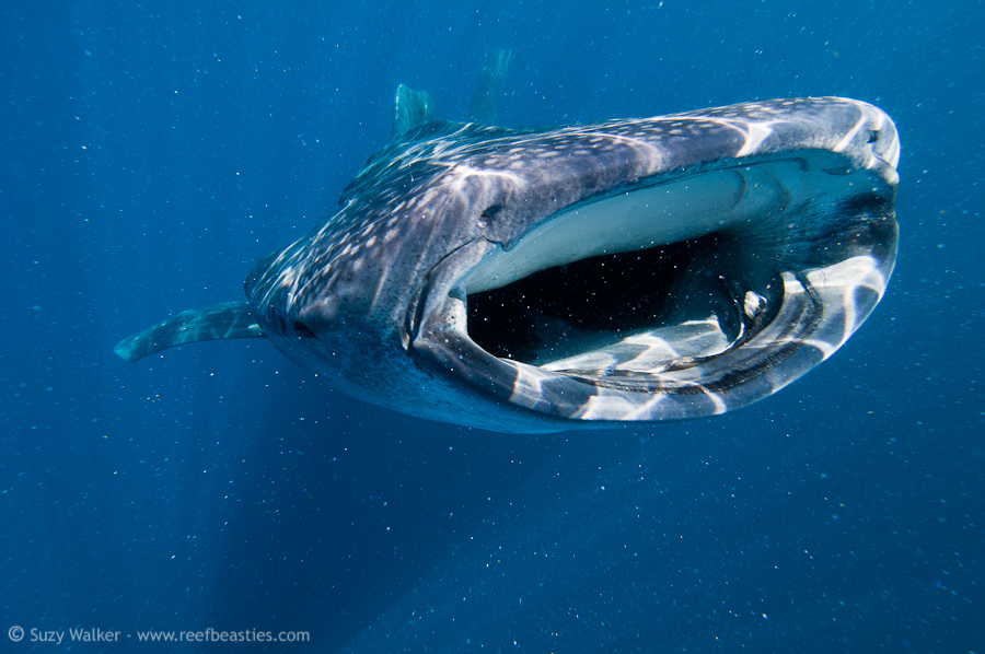 Whaleshark surfacing