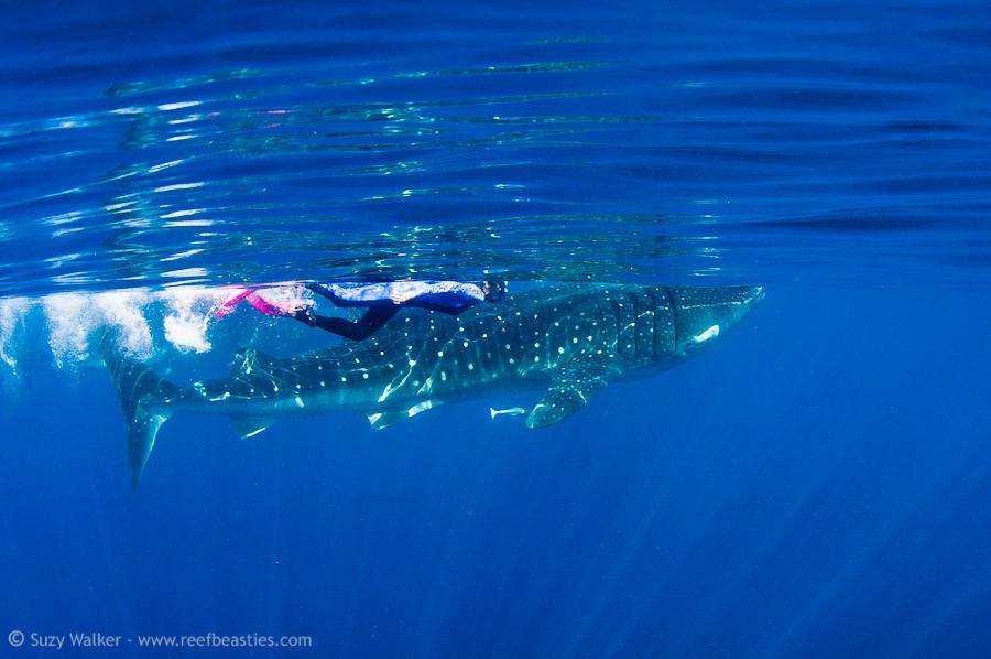 Whaleshark with snorkeler