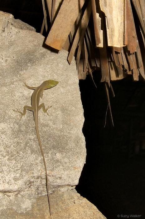 Lizard, Havana