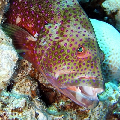 Menacing grouper, Sharm 2005