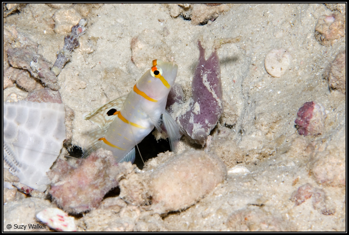 Goby in a hole