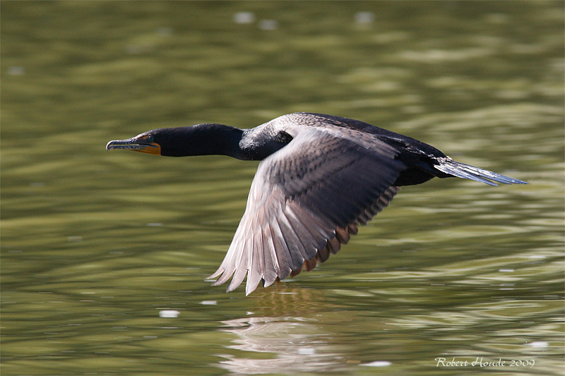Cormoran à aigrettes -- _E0K5599 -- Double-crested Cormorant