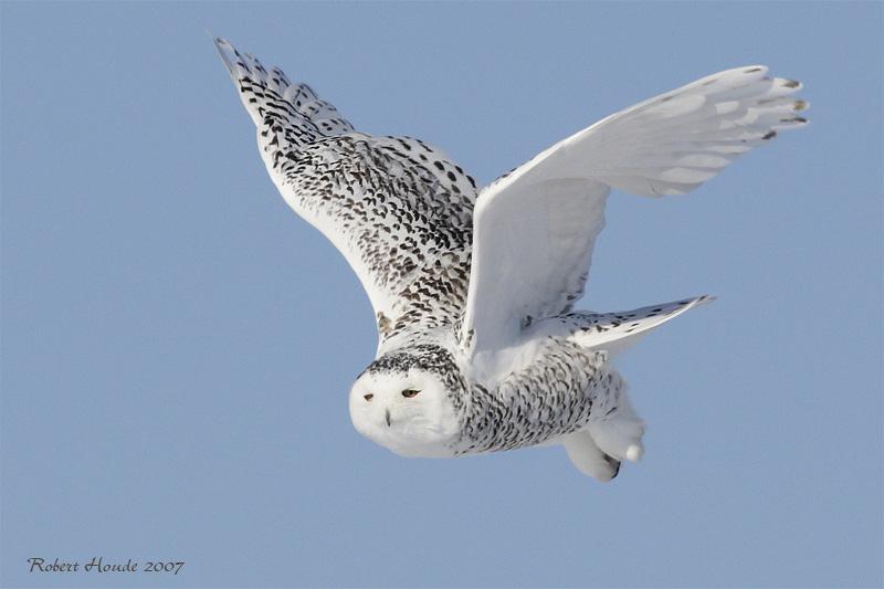 Harfang des neiges -- _E0K0458 -- Snowy Owl