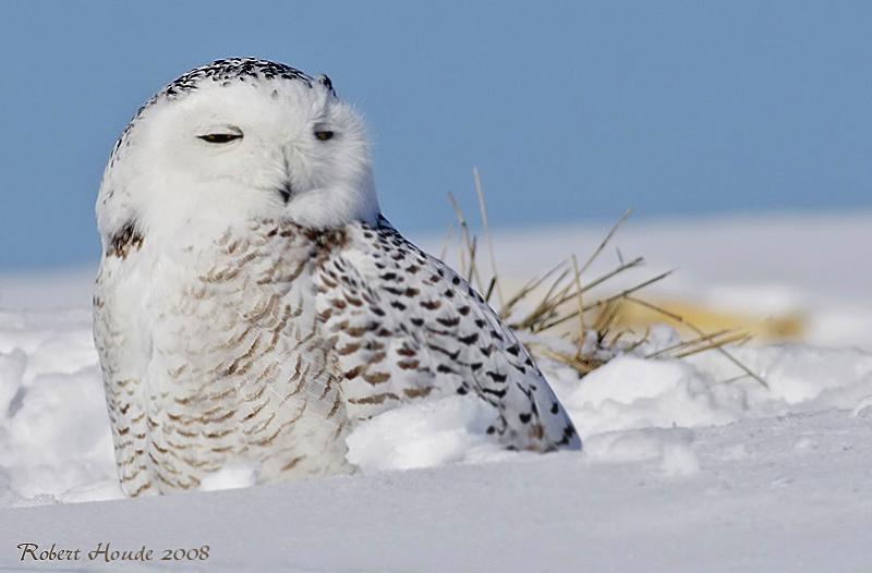 Harfang des neiges -- _E0K1917 -- Snowy Owl