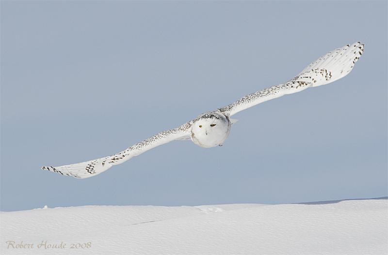 Harfang des neiges --- _E0K2131 --- Snowy Owl