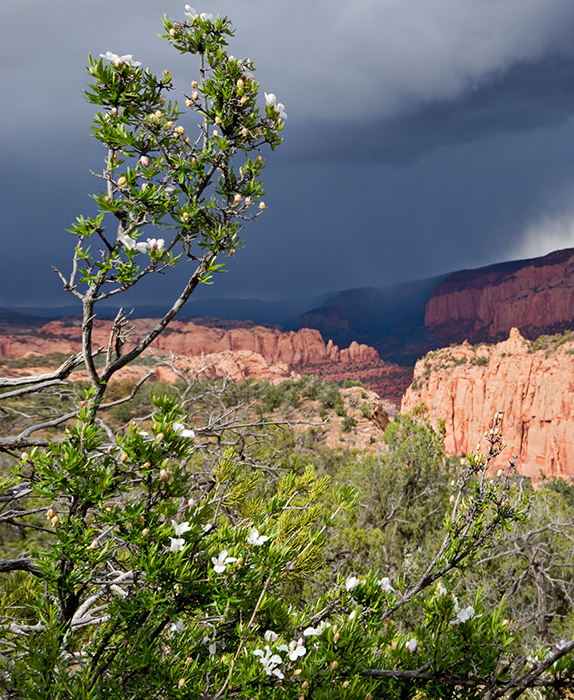 08-05 Cliff Rose and Tsegi Canyon.JPG