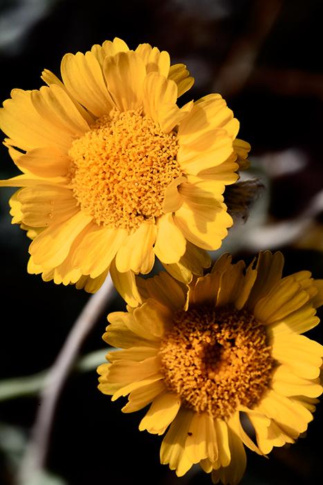 12-04 Desert Marygold 1.jpg