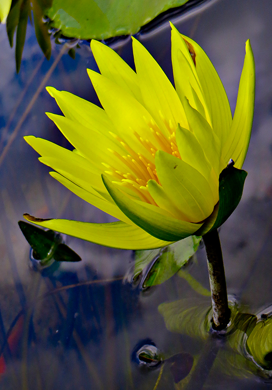 12-07 Water lily 3.jpg