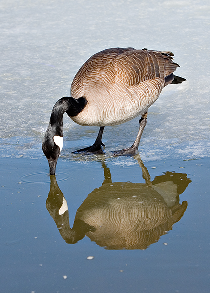 07-03 Geese 06.JPG