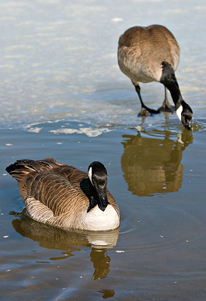07-03 Geese 07.JPG