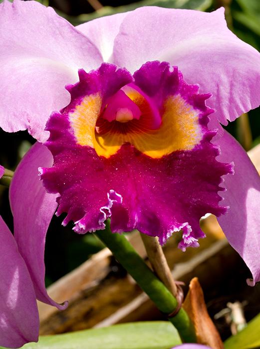 07-05 Mainau orchids 18.JPG