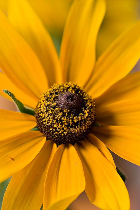 07-07 Black-eyed Susan 02.JPG