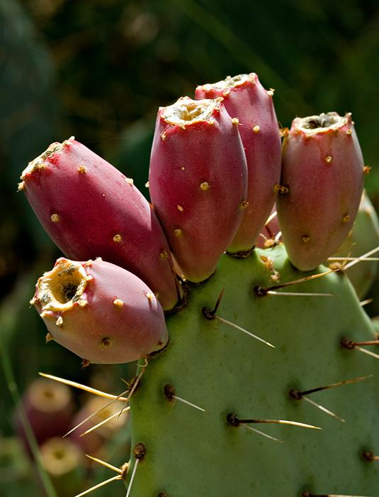 07-09 Prickly Pear Cactus 01.JPG