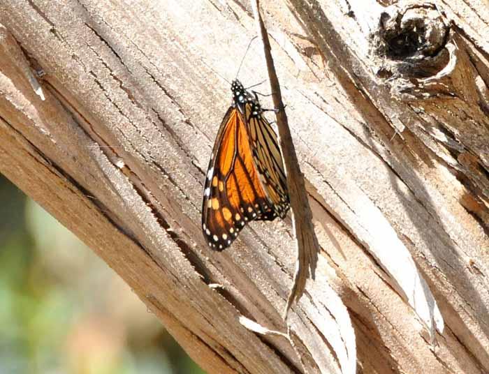 Pismo Beach State Monarch Preserve(CA)