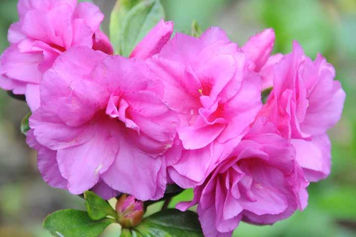 from the azalea garden