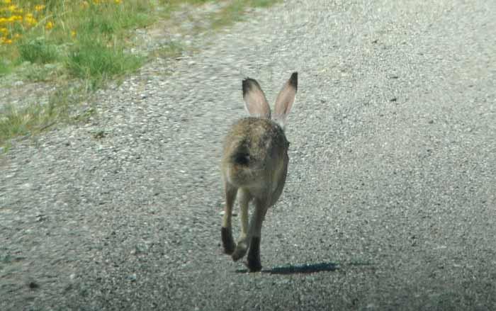 a hare ahead