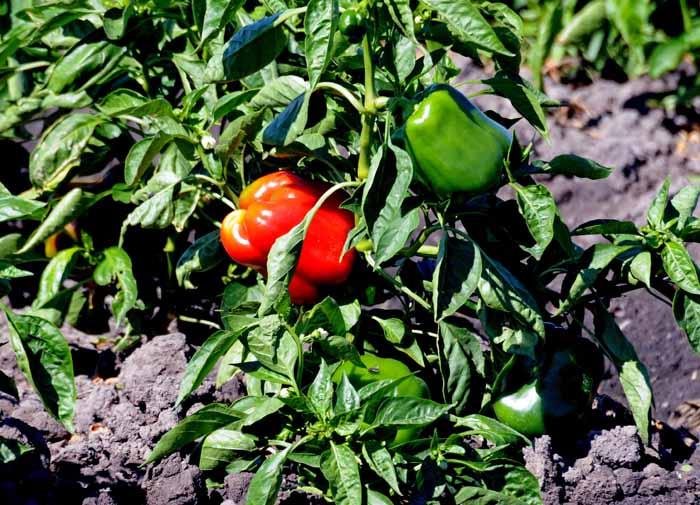 hot pepper in the Delta