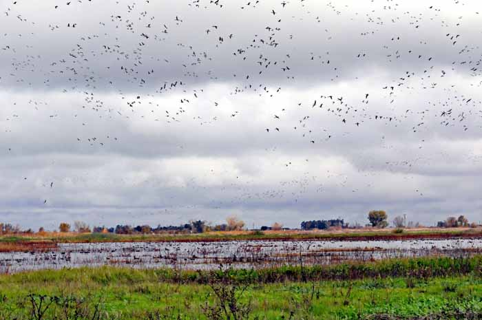 Delta geese away from shotguns