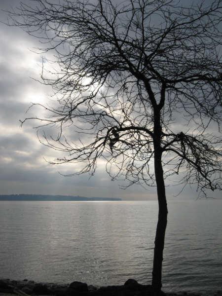 Tree WhiteRock.jpg