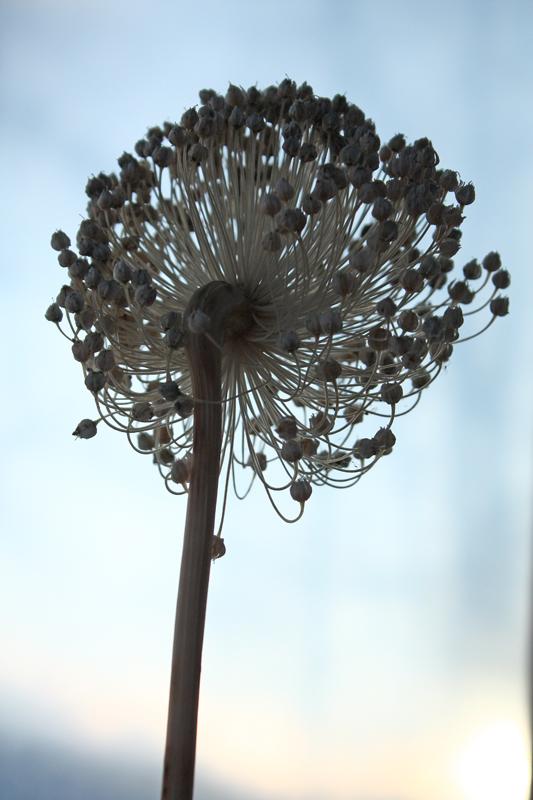 Leek Flower.jpg