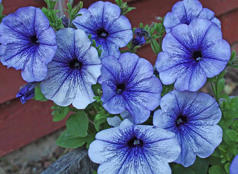 Blue Petunias.jpg