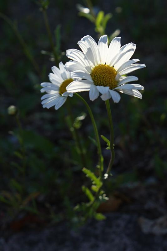 Evening daisy3.jpg