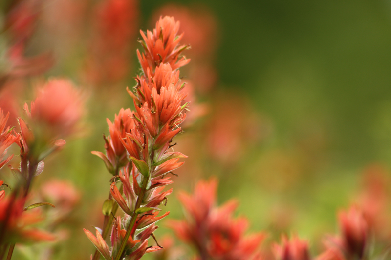 Indian Paintbrush3.jpg