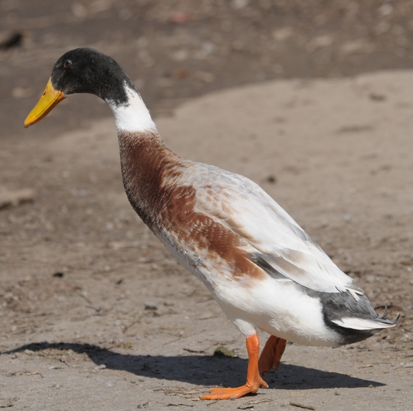 Mallard/Domestic Duck Hybrid
