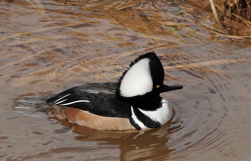Hooded Merganser (Male)