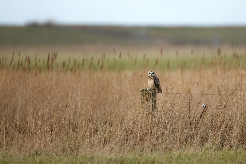 Short-eared Owl / Mosehornugle, CR6F4406 14-01-2012.jpg