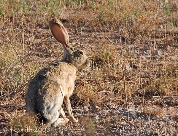 Texas Jack Rabbit