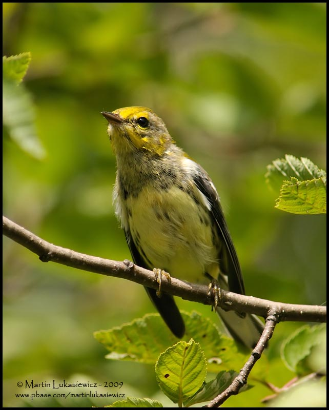 First Year Black-throated Green Warbler