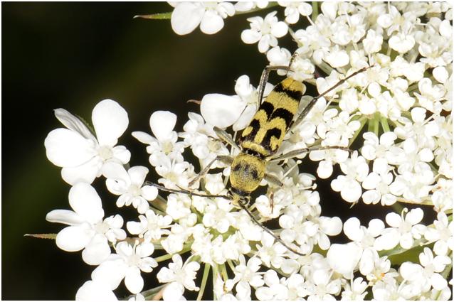 Kommawespenbok  - Chlorophorus varius