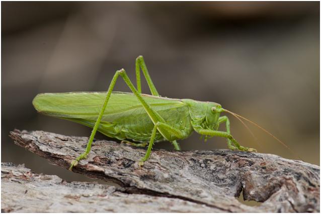 Grote groene sabelsprinkhaan tettigonia viridissima man male grote groene sabelsprinkhaan tettigonia viridissima man male altavistaventures Images
