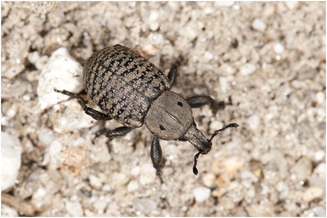 Snuitkeversoort - Anisorhynchus spec.