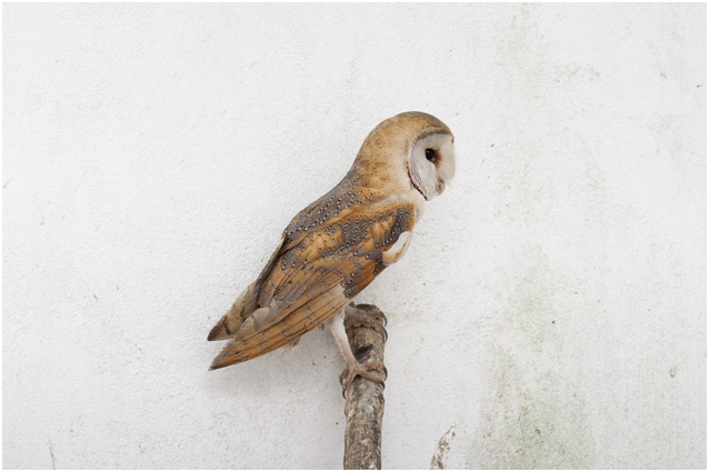 Kerkuil – Tyto alba – Barn Owl - Coruja-das-torres