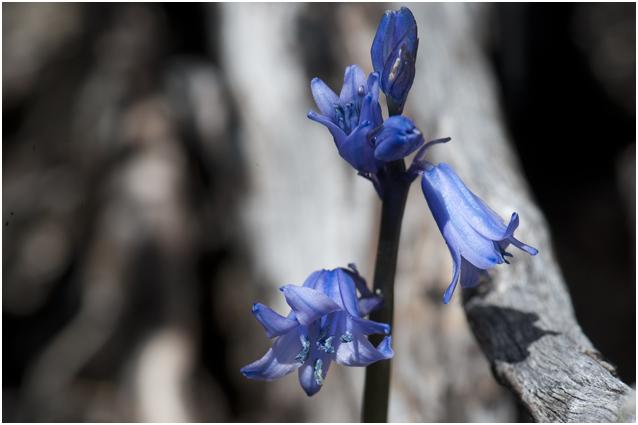 Spaanse boshyacint  - Hyacinthoides hispanica
