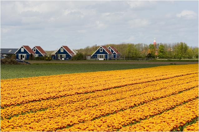 bloembollenvelden aan de Krimweg