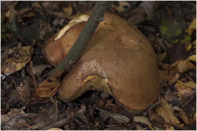 bruine Fluweelboleet - Boletus ferrugineus
